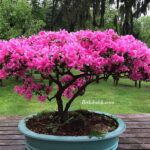 Pembe Çiçekli Bonsai