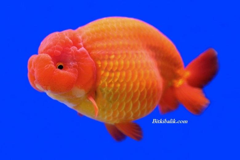 Ranchu Japon Balığı Fiyatı
