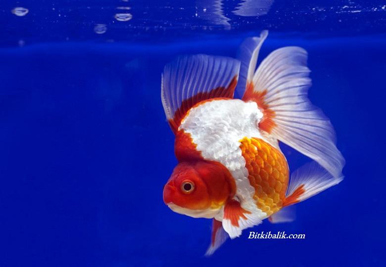 Ryukin Japon Balığı Fiyatı