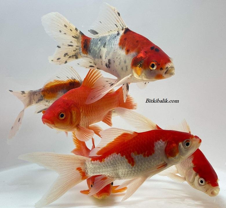 Shubunkin Japon Balığı Fiyatı