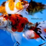 Shubunkin Japon Balıkları