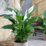Spatifilyum Çiçeği Soldu