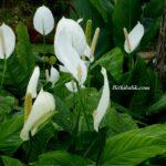 Spatifilyum Çiçeğinin Bakımı