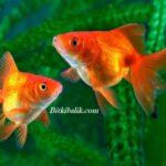Turuncu Japon Balıkları