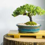 Zelkova Bonsai Bitkisi Bakımı
