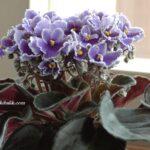 Afrika Menekşe Çiçeği Nasıl Çoğaltılır