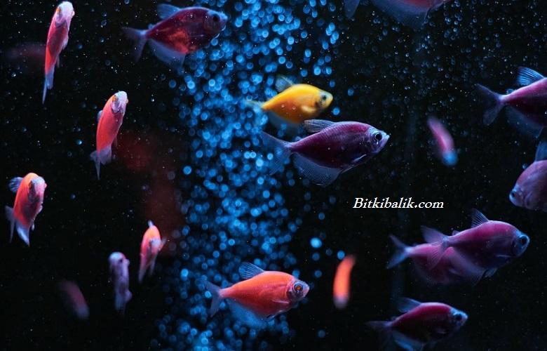Akvaryum Balığı Fiyatları