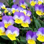Balkonda Menekşe Çiçekleri