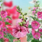 Gülhatmi Çiçeği