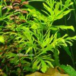 Hygrophila Difformis Budaması Nasıl Yapılır