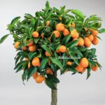 Kamkat Ağacı Ne Zaman Meyve Verir