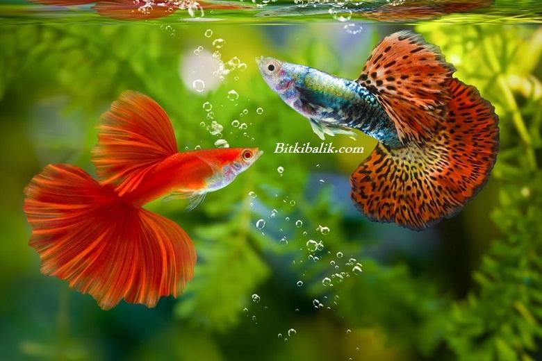 Lepistes Balığı Fiyatları