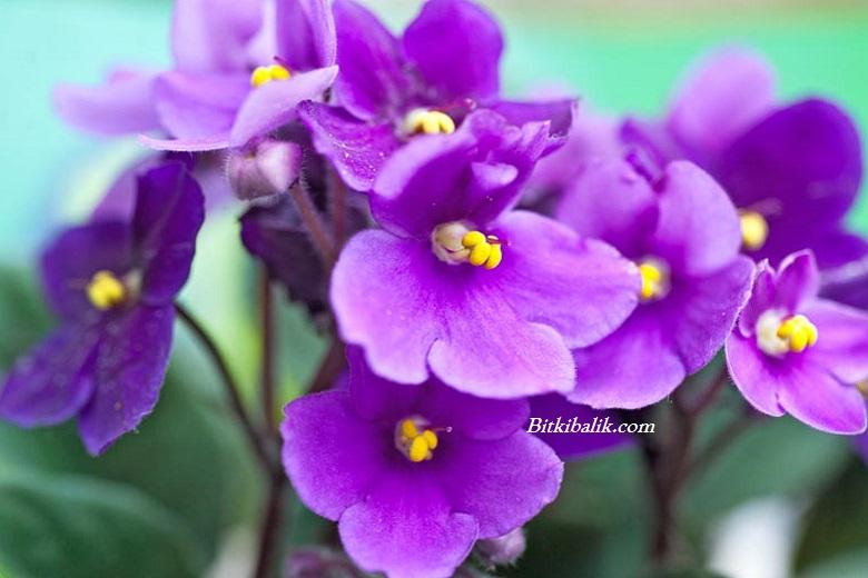 Menekşe Çiçeği Anlamı