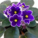 Menekşe Çiçeği Evde Nasıl Bakılır