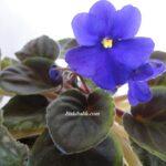 Menekşe Çiçeği Hakkında Bilgi