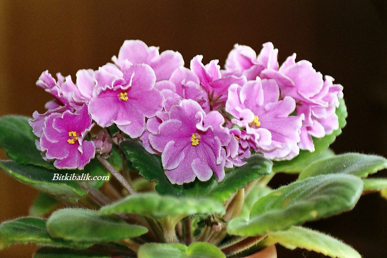 Menekşe Çiçeği Özellikleri