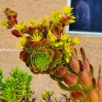 Aeonium Sukulent Sarı Çiçekli Kızıl Varyete