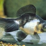 Akvaryum Panda Balığı