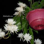 Atlas Çiçeği - Orkide Kaktüsü