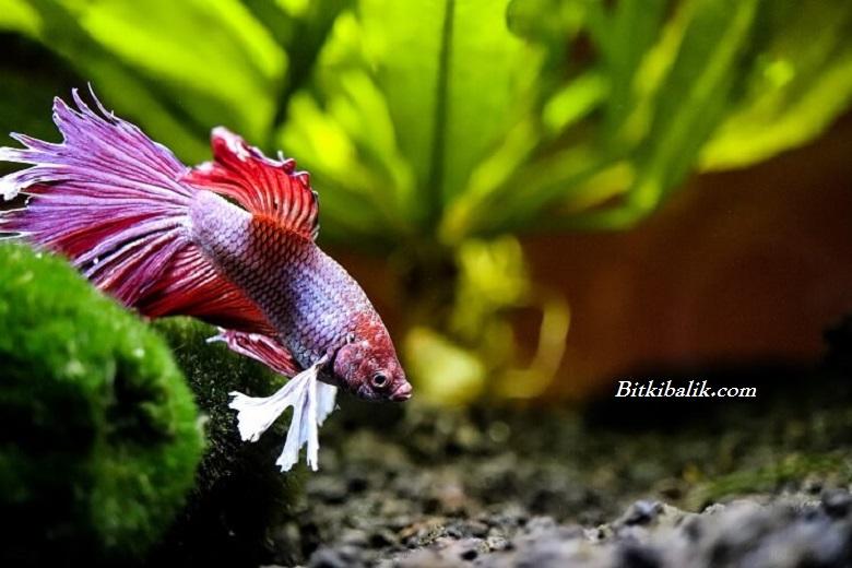 Beta Balığına Bitkisel Yem Verilir mi