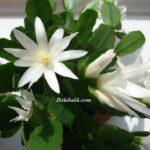 Beyaz Çiçekli Paskalya Kaktüsü