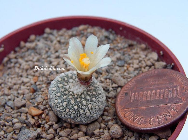Blossfeldia liliputana Kaktüsü