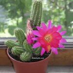 Çiçek Açan Kaktüs Türleri