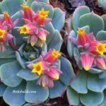 Echeveria Elegans Pembe Sarı Çiçek Açan Sukulent