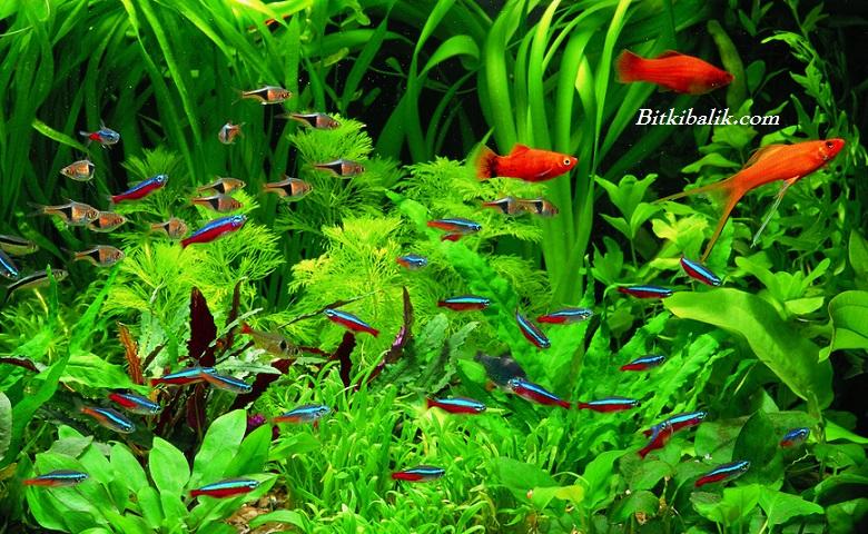 En Dayanıklı Akvaryum Balığı Türleri