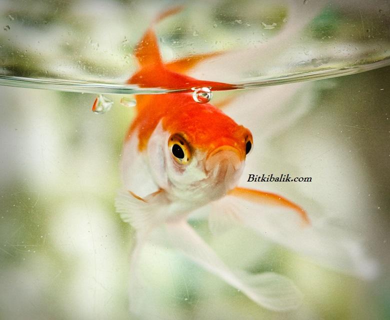 En İyi Japon Balığı Yemi Markaları