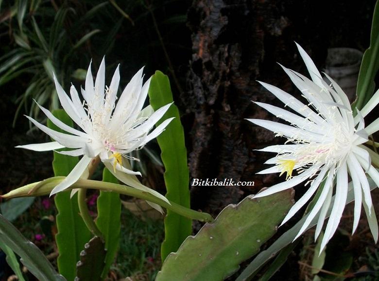 Epiphyllum - Atlas Çiçeği - Orkide Kaktüsü