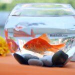 Fanusta Japon Balığı Ömrü