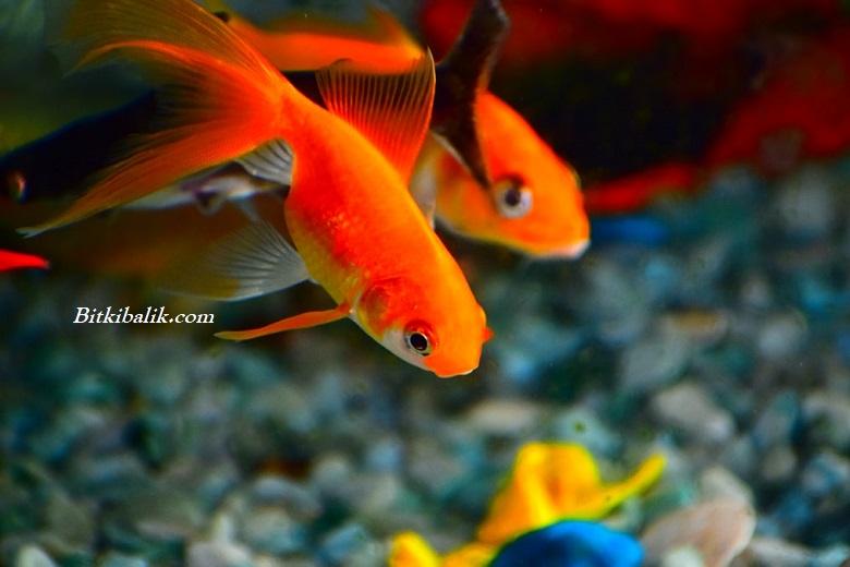 Japon Balığı Akvaryumda Ne Kadar Yaşar