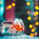 Japon Balığı Fanusta Kaç Yıl Yaşar