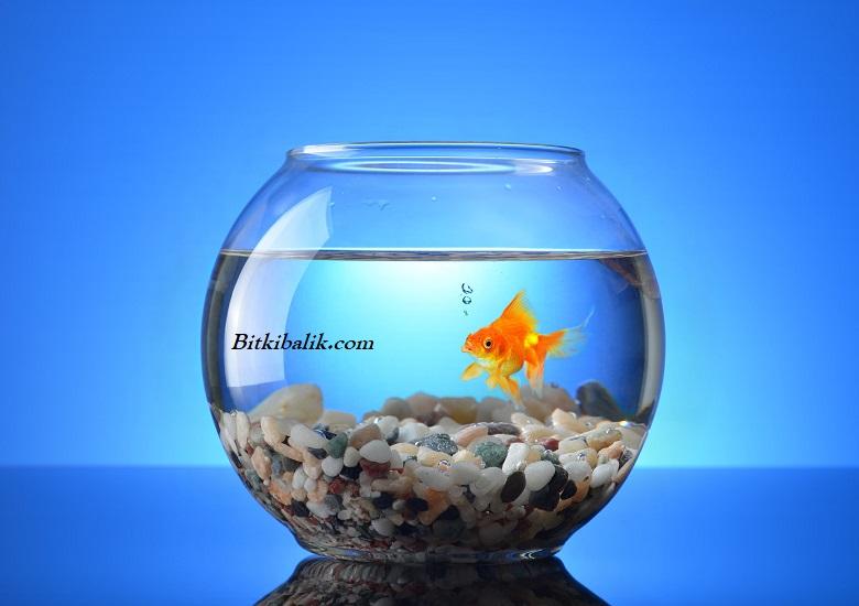 Japon Balığı Fanusta Ne Kadar Yaşar