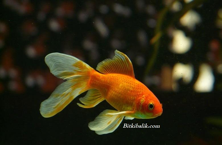Japon Balığı Kaç Sene Yaşar