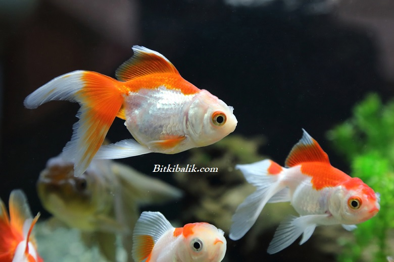 Japon Balığı Türleri Ve Ortalama Yaşam Süreleri