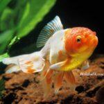 Japon Balıklarının Ömrü