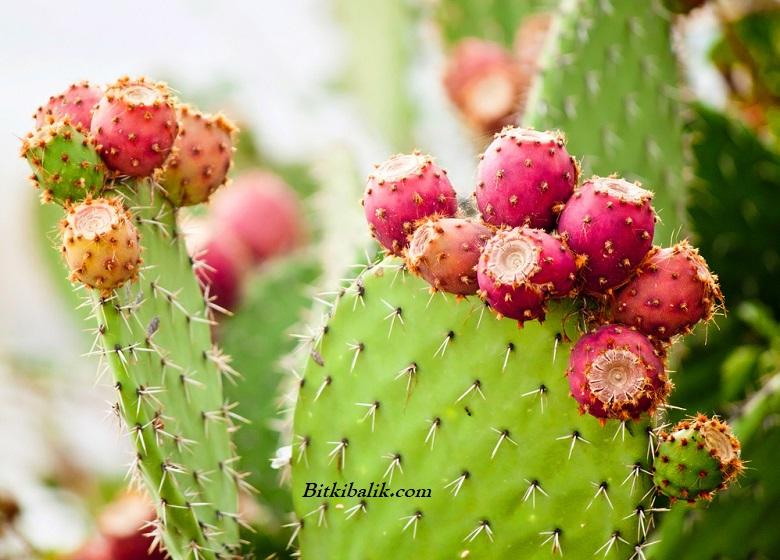 Kaktüs Meyvesinin Faydaları