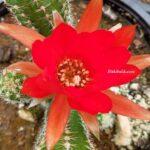Kırmızı Çiçekli Fıstık Kaktüsü