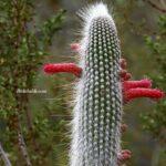 Kırmızı Çiçekli Gümüş Meşale Kaktüsü