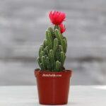 Kırmızı Çiçekli Peri Kalesi Kaktüsü
