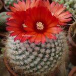 Kırmızı Çiçekli Pudra Pomponu Kaktüs