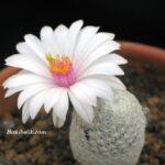 Mammillaria albiflora Kaktüsü