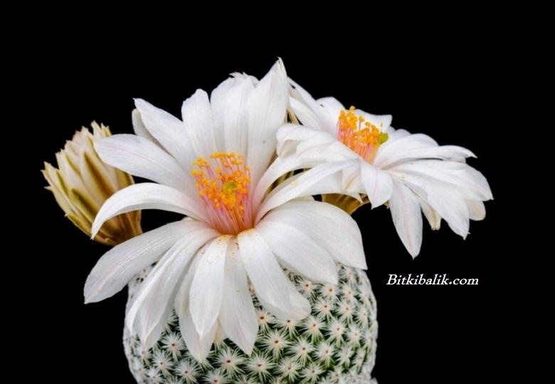 Mammillaria albiflora