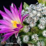 Mammillaria hernandezii Kaktüsü