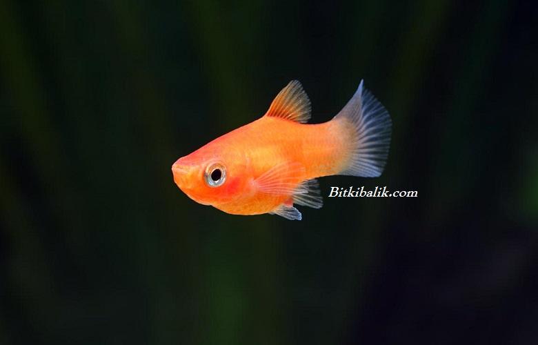 Moli Balığı