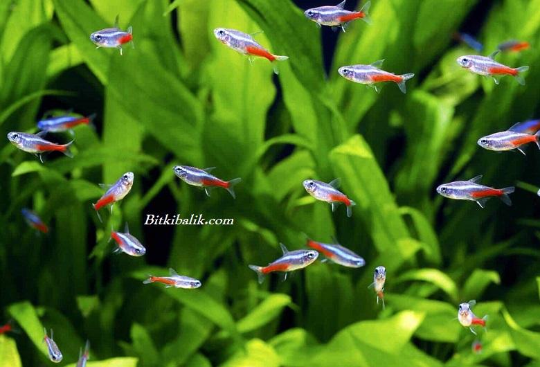 Neon Tetra Balığı
