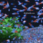 Neon Tetra Balıkları