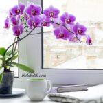 Orkide Kaç Gün Arayla Sulanır